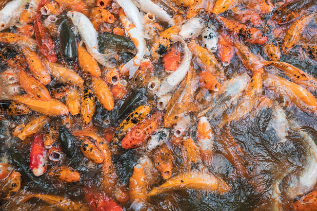 Heap of asian carps in water feeding with hunger — Stock Photo