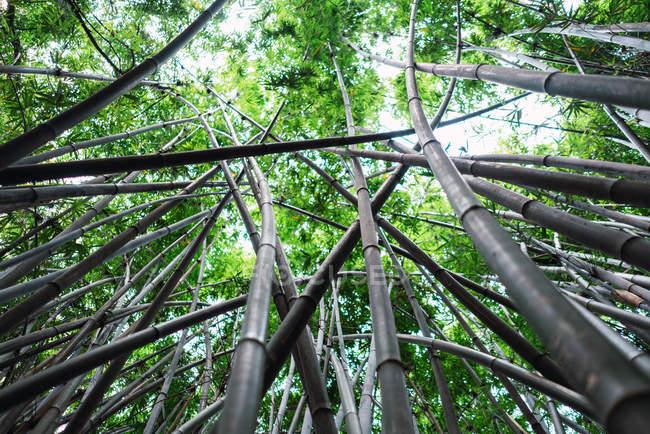 Haute forêt de bambous au feuillage vert poussant dans le parc montagneux de Qingxiu, Nanning, Chine — Photo de stock