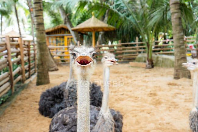 Nahaufnahme von pelzigen Straußen in einer Voliere mit Palmen — Stockfoto