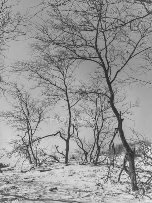 Arbres sempervirents tranquilles couverts de neige dans la forêt — Photo de stock