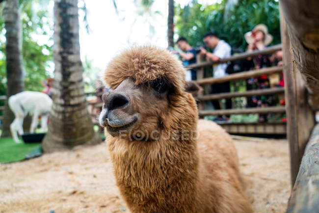 Close-up of adorable brown alpaca on animal farm, China — Stock Photo
