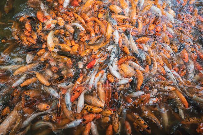 Montón de carpas asiáticas koi en agua alimentándose de hambre - foto de stock