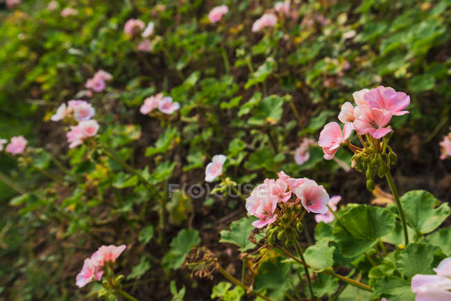 Close-up of pink blossoms of green exotic bush growing in garden — Stock Photo