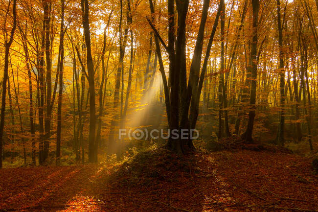 Sunlight beaming through crowns of trees in amazing autumn forest. — Stock Photo