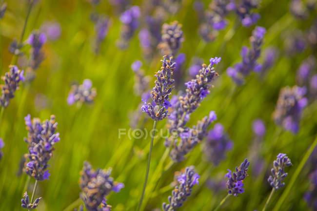Close-up de flores desabrochando concursos de lavanda com hastes verdes e folhagem — Fotografia de Stock