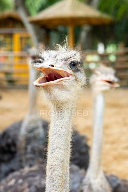Close-up of furry ostriches in aviary with palm trees — Stock Photo