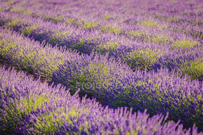 Paisaje de color púrpura en flor lavanda en el campo - foto de stock