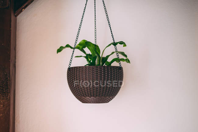 Hanging plant growing in basket against white wall — Stock Photo