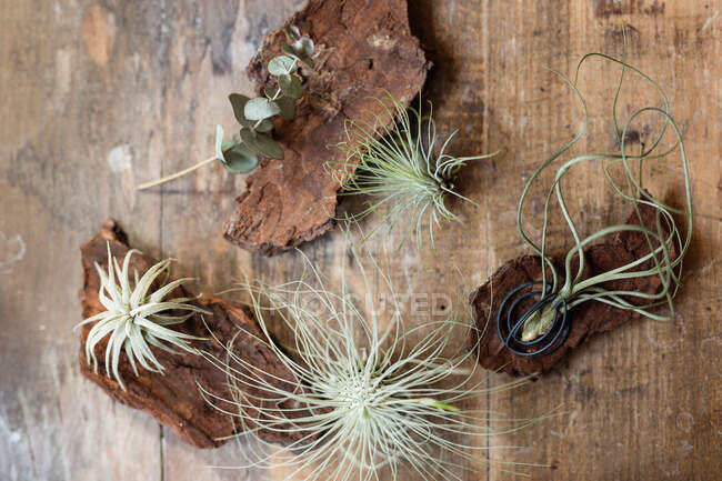 Closeup view of decoration made of piece of tree bark and green rambling plant standing on table with downy flowers on blurred background of room — Stock Photo