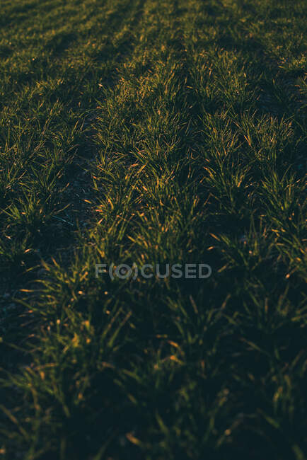 Lush growing grass in fresh morning light on spacious field in close-up. — Stock Photo