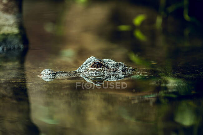 Small crocodile hiding under water near tree while swimming in zoo pond — Stock Photo