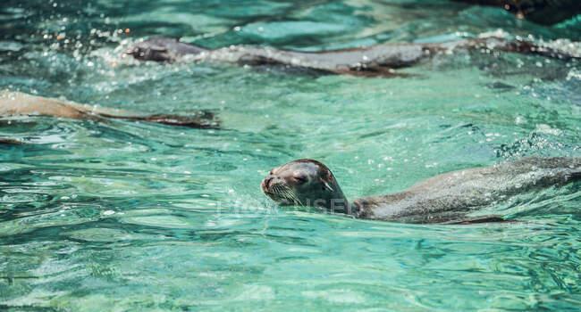 Gruppo di foche carine che nuotano in acqua pulita dello stagno dello zoo — Foto stock