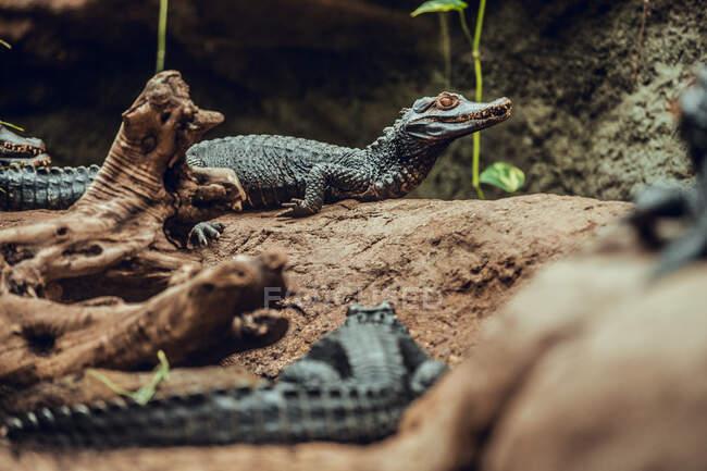 Cute baby crocodiles lying on rock in nice enclosure amazing zoo — Stock Photo