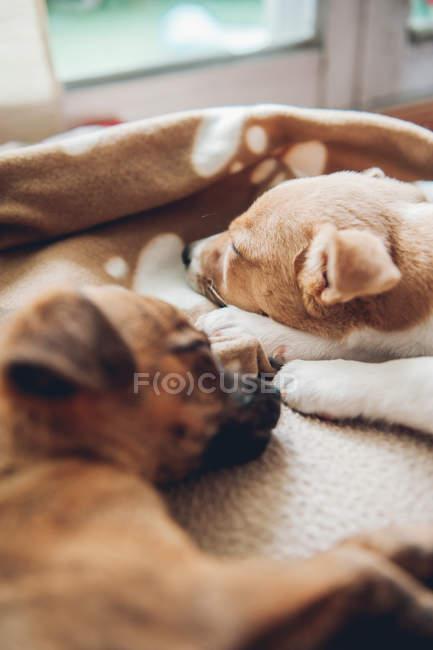 Chiots dormir sur plaid ensemble à la maison — Photo de stock