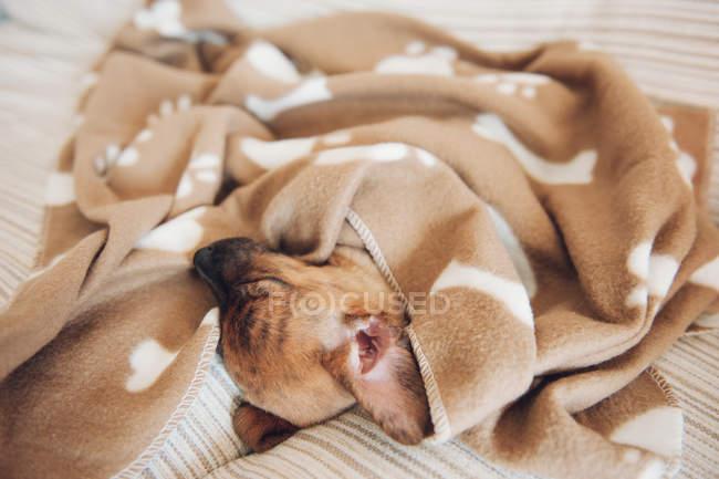 Chiot dormir sur canapé sous couverture marron — Photo de stock