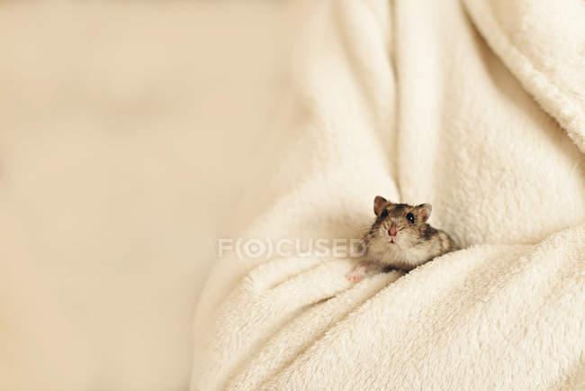Очаровательный маленький хомяк сидит дома в мягком белом одеяле — стоковое фото
