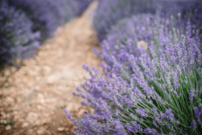 Bushes of violet lavender flowers in field — Stock Photo
