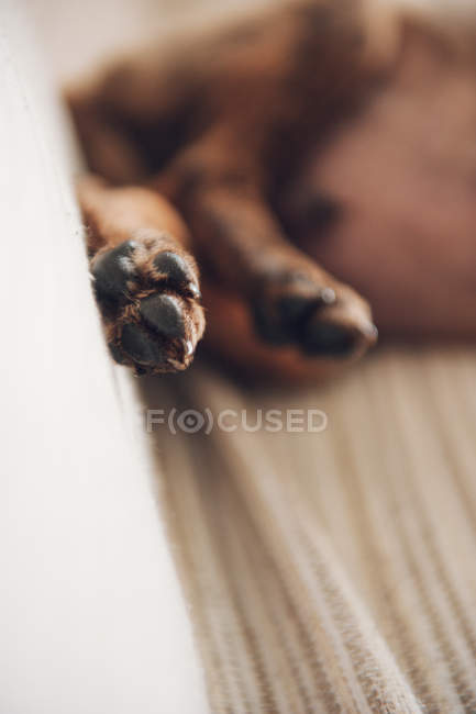Paws of lying brown little puppy — Stock Photo