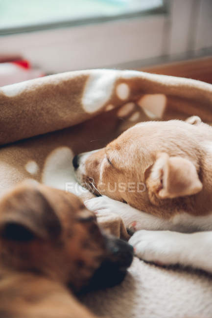 Cute puppies sleeping together on plaid — Stock Photo