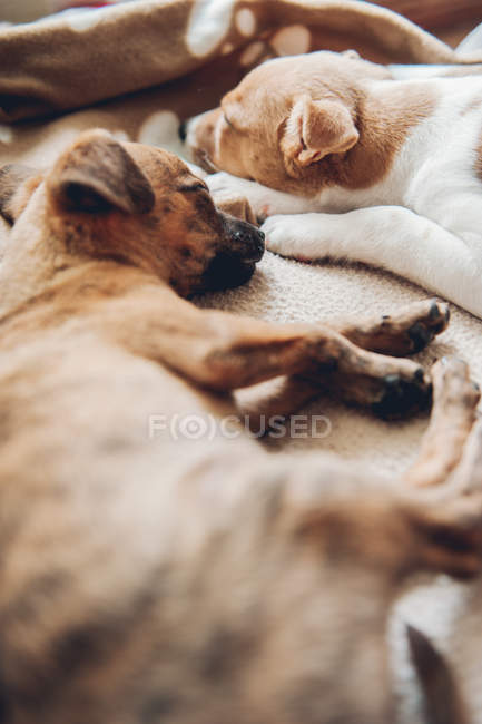 Mignons chiots dormir ensemble sur plaid — Photo de stock
