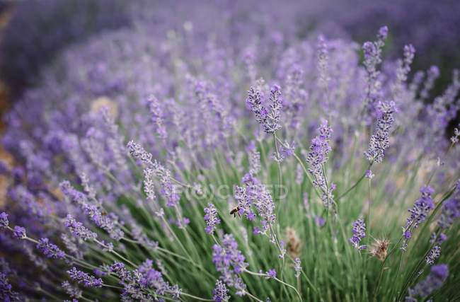Bush of violet lavender flowers in field — Stock Photo
