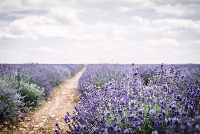 Втулки розподільних фіолетовий Лаванда квіти у поле під хмарного неба — стокове фото