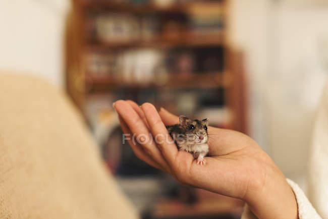 Hamster mignon de main de l'homme tenue sur un arrière-plan flou de chambre au confort douillet — Photo de stock