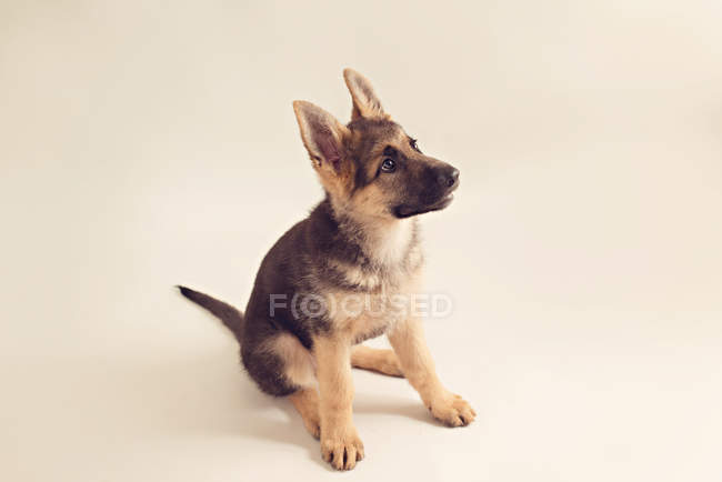 Cute german shepherd puppy sitting on cream background and looking up — Stock Photo