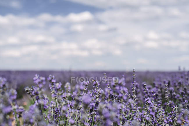 Close-up of blooming violet lavender flowers in field — Stock Photo