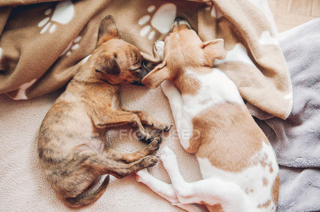Cute puppies sleeping together on blanket — Stock Photo