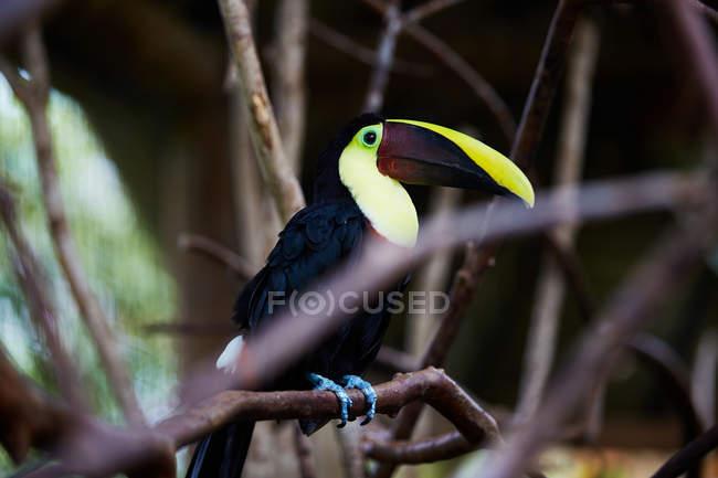 Tucán multicolor en árbol rama, Costa Rica, Centroamérica - foto de stock