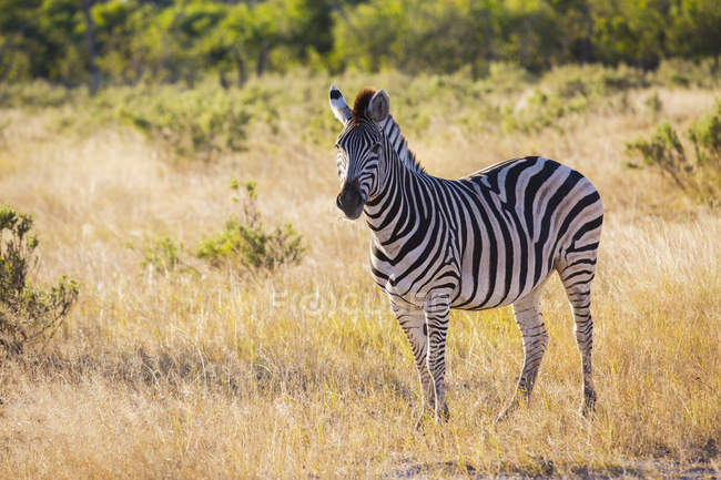 Zebra standing in savanna grass on sunny day in Botswana, Africa — Stock Photo