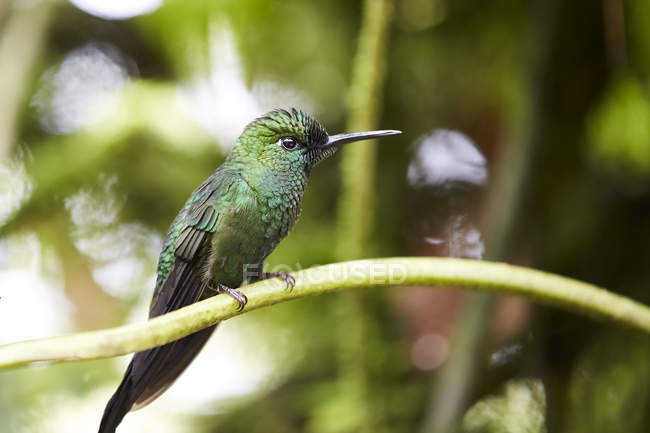 Colibrí verde sentado en la rama de fondo borroso - foto de stock