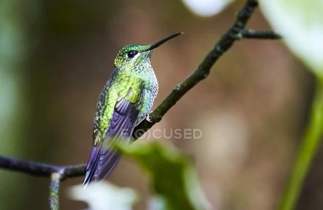 Экзотическая колибри сидит на веточке на размытом фоне — стоковое фото