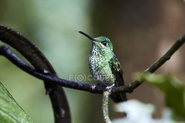 Exótico colibrí sentado en ramita sobre fondo borroso - foto de stock