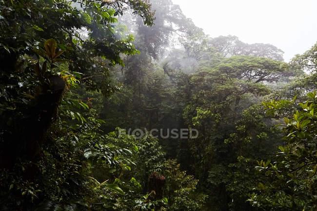 Arbres verts dans la jungle brumeuse, Costa Rica, Amérique centrale — Photo de stock