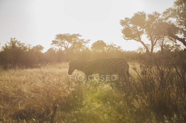 Zebras grazing in savanna in sunlight, Botswana, Africa — Stock Photo