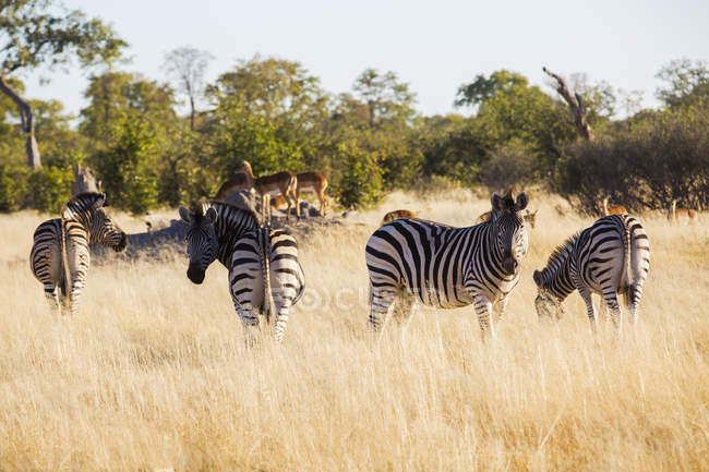 Zebre che pascono nella savana in luce del sole, Botswana, Africa — Foto stock