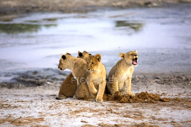 Bello leone cuccioli miagolando mentre seduto vicino all'acqua in Botswana savana, Africa — Foto stock