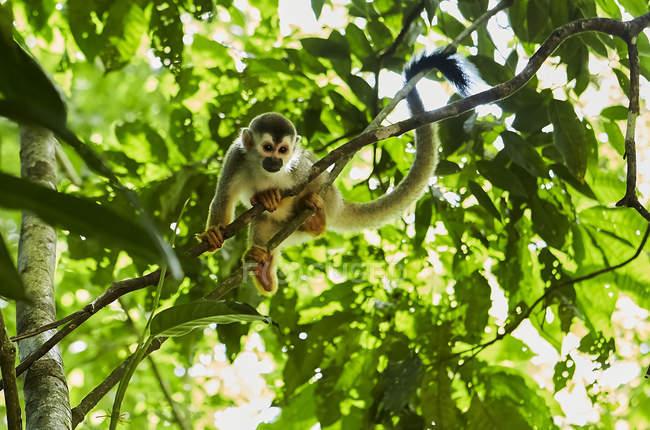 Singe drôle assis sur un arbre de jungle — Photo de stock
