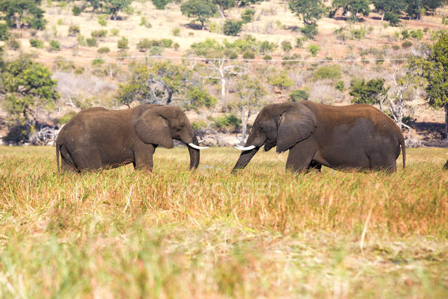 Elefanti al pascolo nella savana, Botswana, Africa — Foto stock