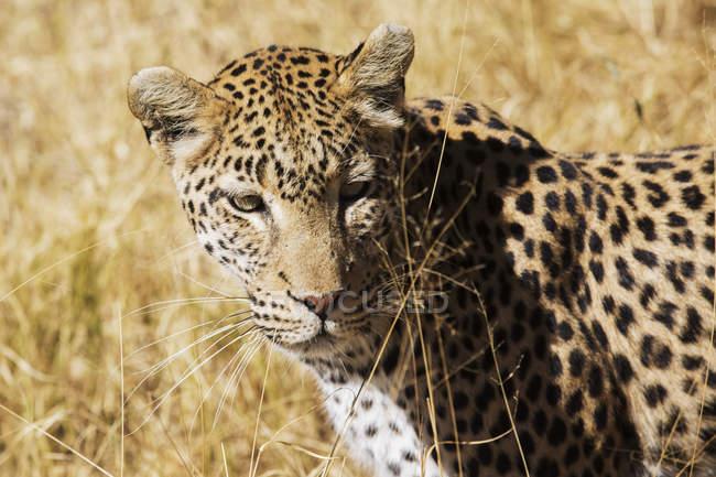Крупным планом леопарда, ходить в Африке саванне, Ботсвана, — стоковое фото