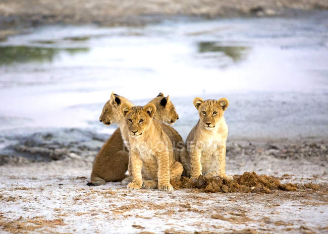 Lovely lion cubs sitting near water in Botswana savanna, Africa — Stock Photo