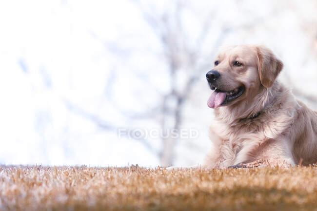 Golden retriever deitado no parque — Fotografia de Stock