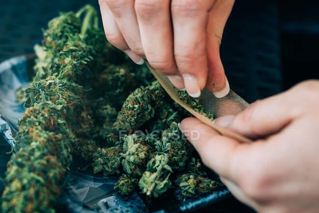 Mujer preparando marihuana conjunta - foto de stock