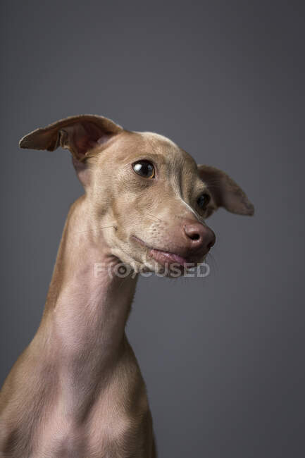 Studio portrait of little italian greyhound dog. Friendly and fun — Stock Photo