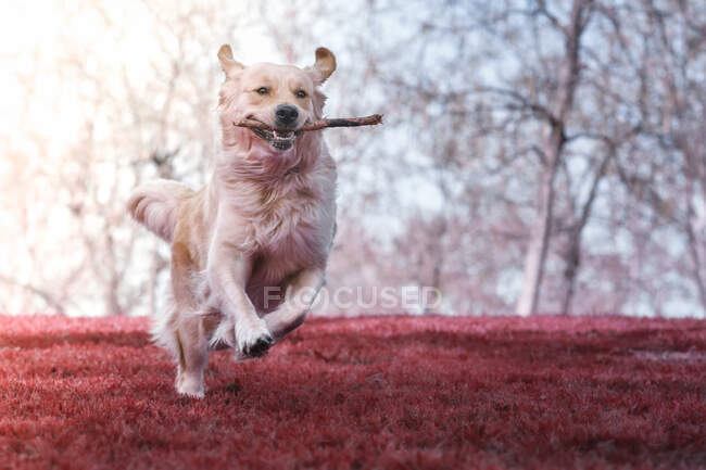 Happy golden retriever running with caught during play stick in jaws on freshly mowed lawn in park — Stock Photo