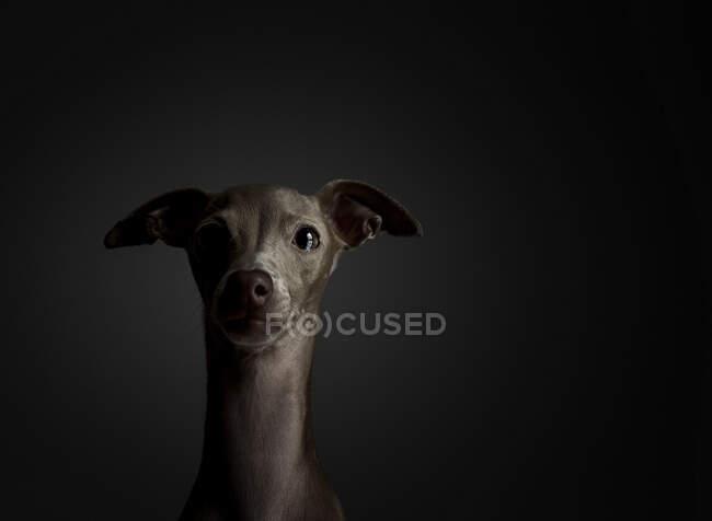 Portrait en studio d'un petit chien lévrier italien. Amical et amusant — Photo de stock