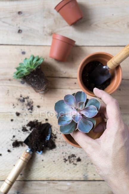 Persona de la cosecha plantación hermosa planta de cactus - foto de stock