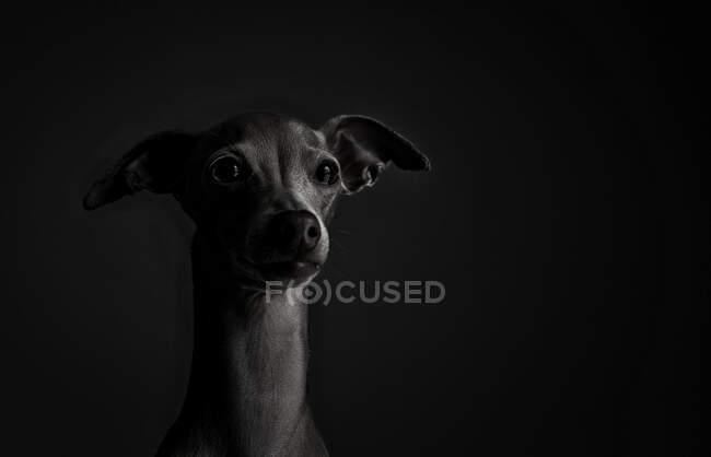 Retrato de estúdio de um cão de caça italiano. Amigável e divertido — Fotografia de Stock
